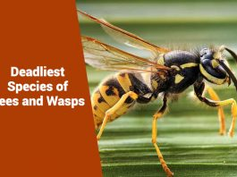 Deadliest Species of Bees and Wasps